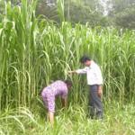 Kỹ thuật chăm sóc cỏ VA06 trong mùa mưa