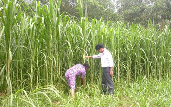 Kỹ thuật trồng và chăm sóc giống cỏ Va06