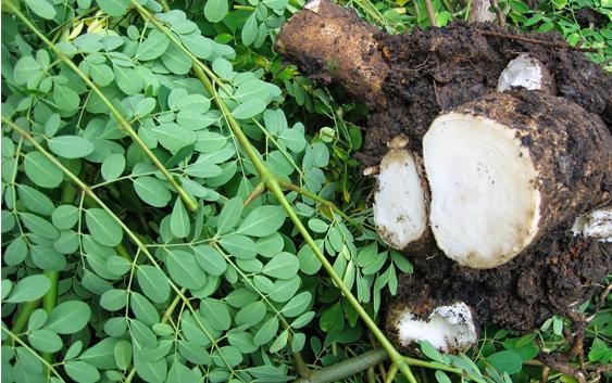 Một số công dụng của rễ cây chùm ngây