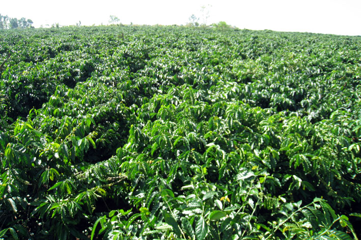 Chăm sóc cây cà phê trong mùa mưa ( video)