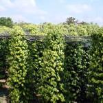 Phòng trừ dịch hại cho cây hồ tiêu khi thời tiết thay đổi thất thường