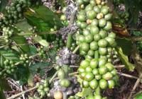 Phòng trừ rệp sáp cho cây cà phê (video)