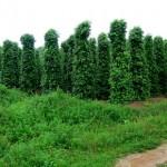 Phòng trừ bệnh cho cây hồ tiêu trong mùa mưa (video)