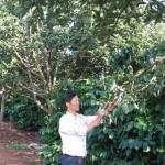Đa dạng hóa cây trồng lâu năm trong vườn cà phê vối (video)