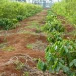 Quy trình xử lý đất tái canh cây cà phê (video)