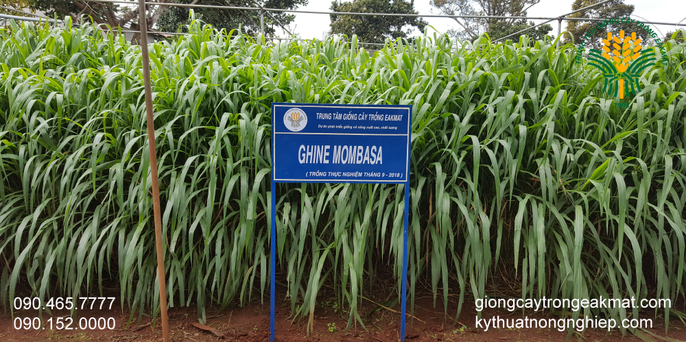 Trồng khảo nghiệm kiểm tra tỷ lệ nảy mầm giống cỏ ghine mombasa
