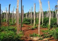 Kỹ thuật trồng và chăm sóc cây tiêu
