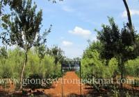 Kỹ thuật trồng xen cây mắc ca và cây cà phê