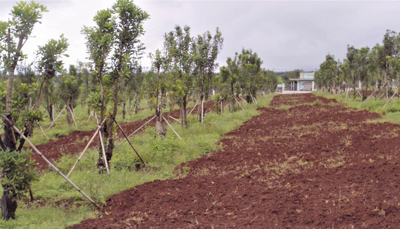 vườn lấy chồi ghép mác ca đầu dòng
